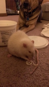 How often do you get to watch a rat eat a piece of spaghetti with a jealous dog in the background?