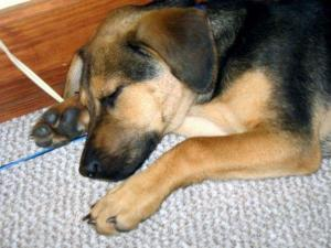 sleeping baby beagle brain